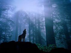 animals, wolf