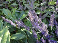 Lavandula with David Viburnum & Purple Sage (image copyright Garden Mentors inc via gardenhelp.org)
