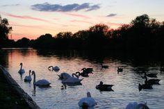 Thames at Reading Sunset & Swans