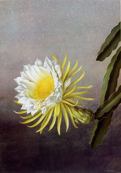 Hylocereus undatus.  Paul Jones Flora Magnifica and Flora Superba botanical prints
