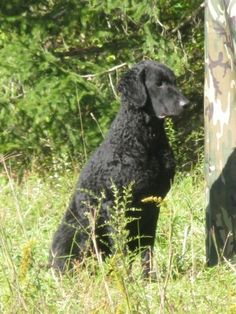 Pheasants Forever is dedicated to the conservation of pheasants, quail and other wildlife through habitat improvements, public awareness, education and land management policies and programs. Ancient English, Curly Coated Retriever, English Dogs, Dog Show, Retriever Dog, Newfoundland, Poodle, Habitats