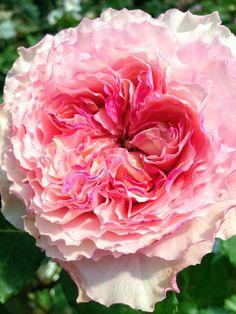 Corona rose.