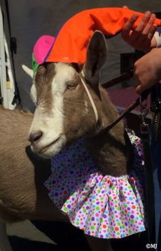 This goat entered the canine fashion show at the Farmer's Market in Astoria