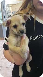 Mesa, AZ - Maltese/Chihuahua Mix. Meet Virginia, a puppy for adoption. http://www.adoptapet.com/pet/15830188-mesa-arizona-maltese-mix