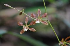 Encyclia species - See it at The Orchid Show www.chicagobotani...
