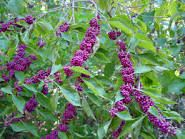 Image result for beautyberry