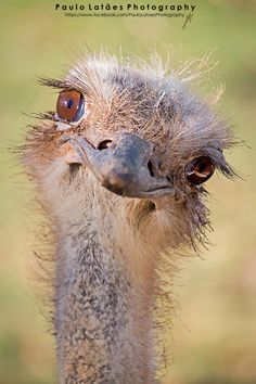Ostriches are pretty Happy Animals, Animals And Pets, Funny Animals, Cute Animals, Pretty Birds, Beautiful Birds, Animals Beautiful, Beautiful Eyes, Funny Birds