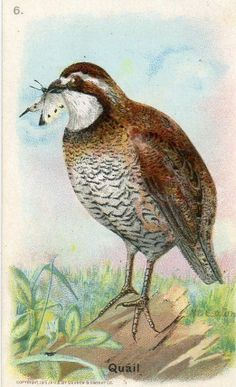 Arm & Hammer trade card Useful Birds of America #6 of Series 6