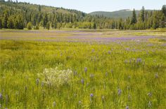 Off-road vehicles tear up wilderness areas, destroying species, causing erosion and disrupting animal nesting and breeding. Camas lilies in Sagehen Meadow in Tahoe National Forest. (George Lamson)