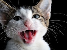 Cat Talk: 10 Reasons Cats Meow #CatBehaviour - Know more about Cat Behaviour at Catsincare.com!