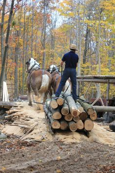 Amish man hauling logs with team of Belgian draft horses