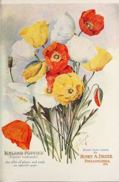 Iceland Poppies. Drawn from Nature for Henry A. Dreer. Philadelphia.Dreer's 1907 Garden Book.