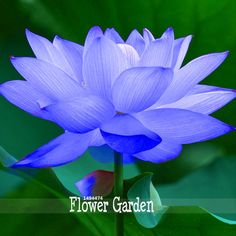 What Does the Divine Lotus Flower Mean to You? (Photos A gorgeous blue lotus flower. The blue Lotus