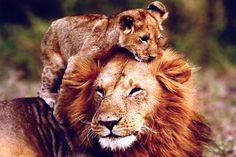 lion cub with dad