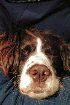 Springer Spaniel - Hard day!