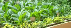 Importância do Cultivo de Plantas Medicinais - As pesquisas que comprovam a eficácia dos usos terapêuticos das plantas medicinais ocorrem em ritmo acelerado. Como consequência, o mercado dos fitoterápicos, medicamentos a base de plantas, tem crescido nos últimos anos cerca de 10 a 14% ao ano.  No entanto, boa parte das plantas medicinais ut... - http://www.fertilizantequimico.com/ecoblog/2015/06/23/importancia-do-cultivo-de-plantas-medicinais/