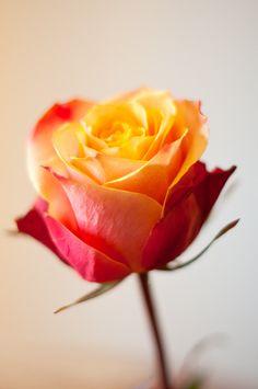 Sherry Cream Rose Bud