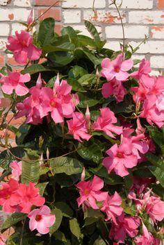 Dipladenia 'Sundaville Red Star' A dire il vero lei, la nostra star vegetale, sarebbe una rampicante. Ma chissà com'è, le Dipladenie, questo è il loro nome, nelle città stanno cominciando ad apparire nelle balconette e nelle fioriere sui balconi, non legatemalasciate cadere liberamente all'ingiù come fossero surfinie. E fanno il loro show, questo è certo: stupendi fiori a campana rosa, bianchi o di un fiammante rosso fuoco, con quelle lucide foglie verde intenso, attirano su...
