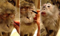 Controversial video shows woman applying MAKE-UP to Macaque monkey- So adorable, you can tell they love it