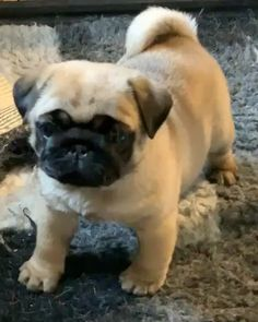 "Outstanding ""silver pug"" detail is readily available on our site. Cute Little Animals, Cute Funny Animals, Funny Dogs, Cute Pug Puppies, Doggies, Pug Love, Funny Animal Videos, Belle Photo, Dog Pictures"