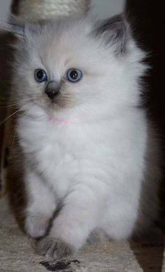 Devon ragdoll kittens