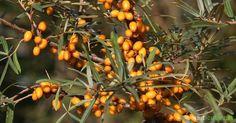 Sanddorn  ist einer der besten Vitamin-C-Spender überhaupt und gilt zu recht als ein regionales Superfood. So erntest du ihn einfach und stellst gesunde Leckereien mit den orangenen Früchten her.