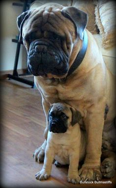 Mama and baby Bull Mastiff Dogs, Mastiff Breeds, Bull Terriers, Giant Dog Breeds, Giant Dogs, Chien Cane Corso, I Love Dogs, Cute Dogs, British Mastiff