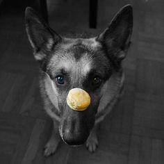Sweet Potato Peanut Butter Sandwiches by livelaughcook #Dog #Treats #Sweet_Potato #Peanut_Butter