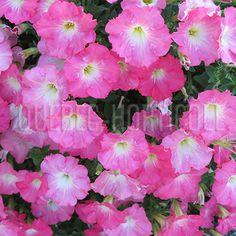 image de Petunia Easy Wave™ Rosy Dawn_ANNUELLE