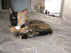 Venus, the two-faced cat
