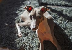 ~ ♥ Italian Greyhounds ~