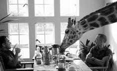 Desayuno con jirafa
