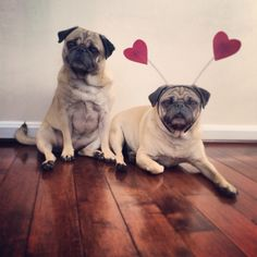 Valentines Day Pugs 2014 - Follow us on Instagram: @zoereagan