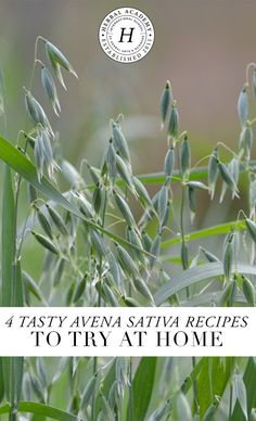 Discover the amazing Avena sativa plus 4 yummy recipes to enjoy! This calming herb is used by herbalists to nourish the whole body with a particular affinity for the nervous system, come and learn more!
