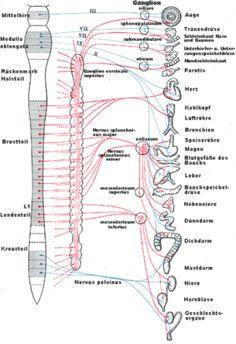 Das Nervensystem Aufbau des Nervensystems mit Sympathikus (= rote Linien) und Vagus (= blaue Linien). Blockaden der Wirbelsäule können Steuerungsimpulse, die über die Nervenbahnen ausgesendet werden, verändern, was zu Störungen der Organfunktionen führen kann.