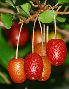 GOUMI: Shrub. Small-Medium sized shrub, with edible (tart) fruits. Prefers full sun. Tolerates range of soil conditions.