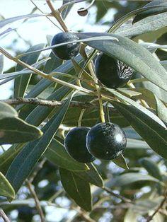 Arbuquinia olive tree