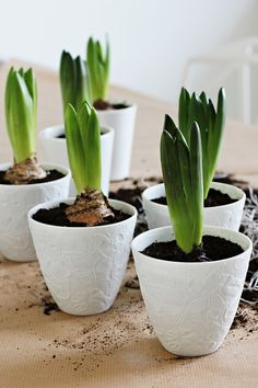 Potted Hyacinths - Nordic Leaves