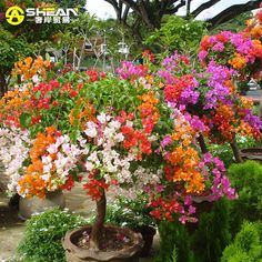 Image from http://g01.a.alicdn.com/kf/HTB1xr4TIFXXXXcUXXXXq6xXFXXXI/Top-Selling-Colorful-font-b-Bougainvillea-b-font-Spectabilis-Willd-Seeds-font-b-Bonsai-b-font.jpg.