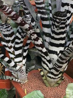 Aechmea zebrina