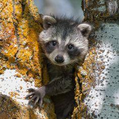 dailywildlifephoto:  Baby Raccoon