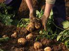 Tip: Kartoffelernte leicht gemacht