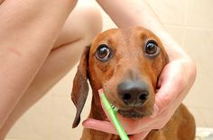 How to Brush Your Small Dog's Teeth Step by Step