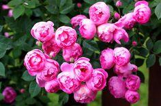 raubritter rose   Raubritter-Rose - Bilder und Fotos