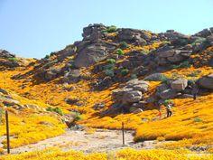 Photo Eugene Els Landscape Photos, Landscape Paintings, South Afrika, Daisy Field, Spring Flowering Bulbs, Desert Plants, My Land, Trees To Plant, West Coast