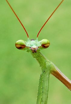 Say it just one more time, dude. Just one. More. Time.  (Praying Mantis by Macky)