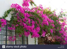 Bougainvillea vines growing on wall of home in Acapulco, Mexico - Stock Image Bougainvillea, Flowering Vines, Hanging Baskets, Flower Wall, Planting Flowers, Stock Photos, Landscape, Amazing, Nature