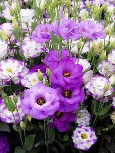 """A bouquet of bloom erupts from slim stems bearing grey-green foliage. The flowers of Lisianthus plants, resembling rose buds, are a lively addition to the border and a superb and long lasting cut flower. Height: 60cm (24""""). Spread: 30cm (12""""). Supplied as plug tray plants. Lisianthus collection comprises: Lisianthus 'Blue Lagoon' Lisianthus 'Pink Ice'"""