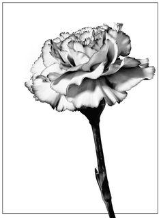 Carnation Flower Drawings for Tattoos - Bing images Carnation Drawing, Carnation Flower Tattoo, Birth Flower Tattoos, Black Tattoos, Body Art Tattoos, Sleeve Tattoos, Tatoos, Tattoo Schwarz, Dibujos Cute
