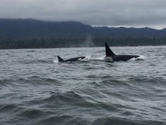 August We (The Transient Killer Whale Research Project) are excited to… Tofino Bc, Undersea World, Orcas, Killer Whales, Research Projects, Under The Sea, British Columbia, Dolphins, Mammals